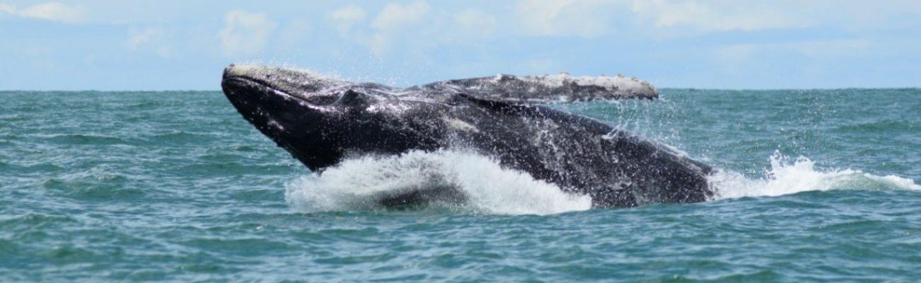 Whale Watching Tour-Marino Ballena National Park-Uvita-Osa Great Adventure (17)