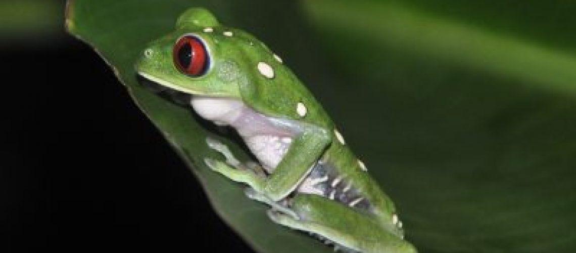 read eye leaf frog-night walk Drake Bay, Costa Rica.
